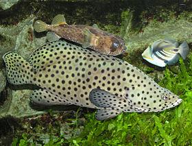 Bắn cá mú nghệ